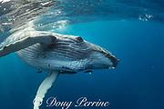humpback whale calf, Megaptera novaeangliae, Vava'u, Kingdom of Tonga, South Pacific