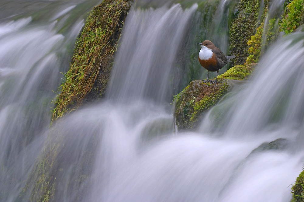 Dipper, Cinclus cinclus, perched on moss covered waterfall, Derbyshire, UK