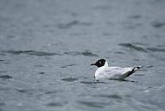 Andean Gull, Larus serranus