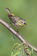 Cape May Warbler - Dendroica - Adult female breeding