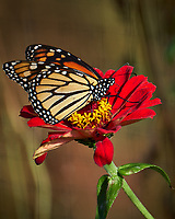 Monarch Butterfly on a Red Flower. Autumn Backyard Nature in New Jersey. Image taken with a Fuji X-T2 camera and 100-400 mm OIS telephoto zoom lens (ISO 200, 300 mm, f/5.6, 1/300 sec)