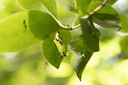 White admiral (Limenitis camilla) pupa suspended from honeysuckle (Lonicera periclymenum). Day 4. Sussex, UK.