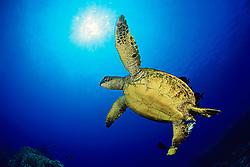 green sea turtle at cleaning station, Chelonia mydas, Kona, Big Island, Hawaii, USA, Pacific Ocean