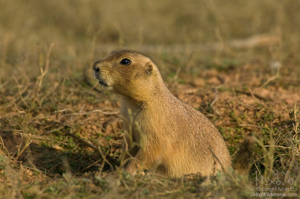 A black-tailed prairie dog looks out from its burrow in a grassy field near Devil's Tower National Monument, Wyoming.