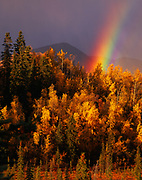 Autumn view of rainbow, boreal forest of Quaking Aspen, Populus tremuloides, and Paper Birch, Betula papyrifera, Mentasta Mountains, Wrangell-St. Elias National Preserve, Alaska.