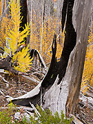 Regrowth of Western Larch, Larix occidentalis, fifteen years after the Roberts Fire burned above the North Fork Flathead River, Flathead National Forest, Montana.