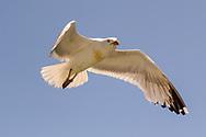 Seagull, Orient, NY