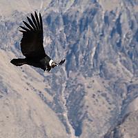 A male condor soaring over Colca Canon.
