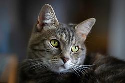Portrait of a domestic rescued feral female cat, Staffordshire, England, UK.<br /> Photo: Ed Maynard<br /> 07976 239803<br /> www.edmaynard.com