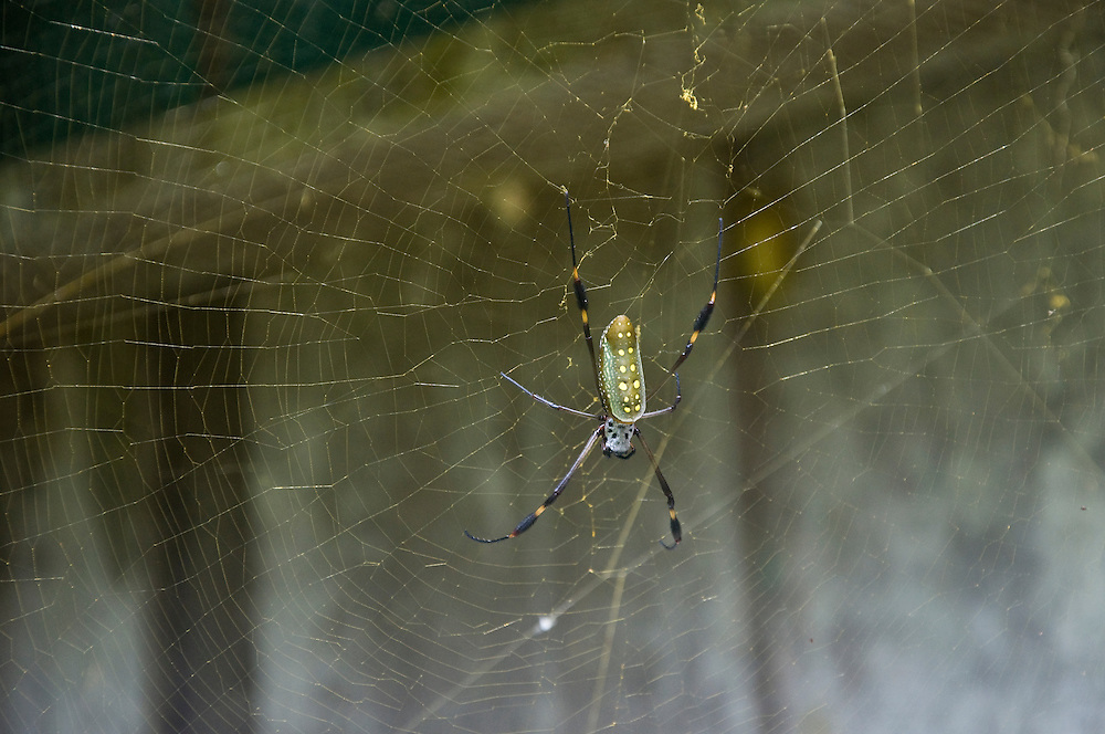 Female golden orb web spiders (Nephila clavipes) grow 100 times larger than the males, and use their massive gold web to trap prey, sometime even small birds.  Corcovado National Park, Costa Rica. April 2009.  (Photo/William Byrne Drumm)