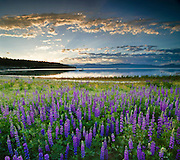 Lupine field at Lake Forest Beach on the north shore of Lake Tahoe, California. Lake Tahoe is a large freshwater lake in the Sierra Nevada range on the California/Nevada Border. At a surface elevation of 6,225 ft Lake Tahoe is the largest alpine lake in North America with a depth of 1,645 ft.