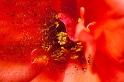 Digitally enhanced image of a perfect orange Garden rose