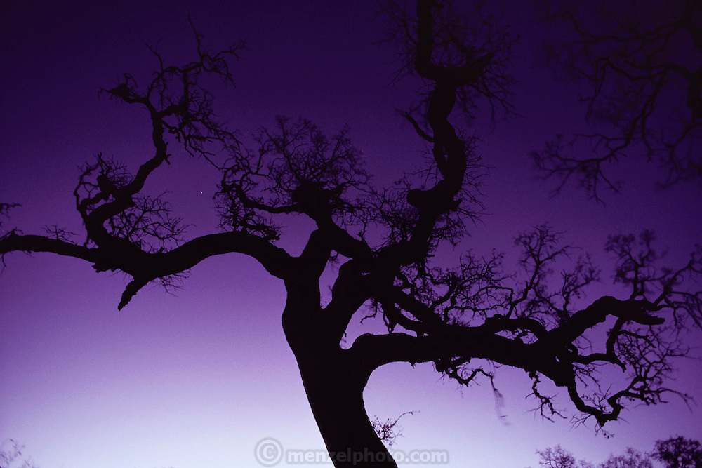 Valley oak tree at dawn, Napa, California.