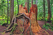 old tree stump in coastal temperate rain forest<br /> McMillan Provincial Park (Cathedral Grove)<br /> British Columbia<br /> Canada