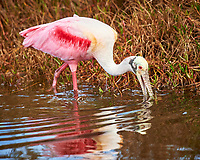 Roseate Spoonbill. Black Point Wildlife Drive, Merritt Island National Wildlife Refuge. Image taken with a Nikon D4 camera and 600 mm f/4 VR lens (ISO 1250, 600 mm, f/5.6, 1/1250 sec).