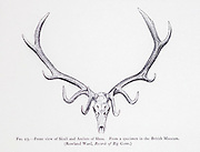 Skull and antlers of the Tibetan red deer (Cervus canadensis wallichi) also known as shou, is a subspecies of elk (wapiti) native to the southern Tibetan highlands and Bhutan. from the book ' The deer of all lands : a history of the family Cervidae, living and extinct ' by Richard Lydekker, Published in London by Ward 1898