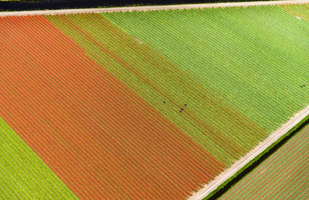 Nederland, Zuid-Holland, Noordwijkerhout, 28-04-2017; bollenstreek, bollenveld in het voorjaar met landarbeiders die zieke tulpen zoeken (en verwijderen)<br /> Bulb region, bulb field in the spring with farm workers searching for (and removing) diseased tulips.<br /> luchtfoto (toeslag op standard tarieven);<br /> aerial photo (additional fee required);<br /> copyright foto/photo Siebe Swart