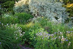 Geranium pratense running though the brick garden at Glebe Cottage with Elaeagnus 'Quicksilver' and willow