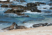 Hawaiian monk seals, Monachus schauinslandi, Critically Endangered endemic species, a 7-year-old male (RI11), on the left, challenges a 5 year old male (R036), at right, at west end of Molokai, Hawaii; a female (R318) passes by in background;