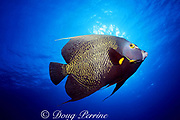French angelfish, Pomacanthus paru, North Sound, Grand Cayman, Cayman Islands (Caribbean)