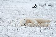 Polar bear Ursus maritimus lying on frozen tundra<br />Churchill<br />Manitoba<br />Canada