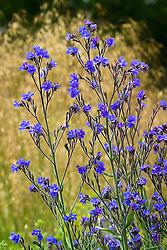 Anchusa azurea 'Dropmore' - Alkanet