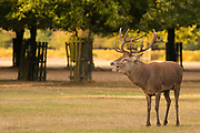 Red Deer stags prepare for the autumn rut in Bushy Park. London, UK.