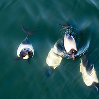 Commerson's dolphins (Cephalorhynchus commersonii) swim in the harbor at Stanley, East Falkland Island, Falkland Islands.