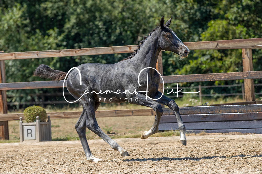 Horseman Elite Auction<br /> Kortenaken 2020<br /> © Hippo Foto - Dirk Caremans<br /> 08/08/2020