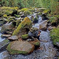 PERU. Dr. Peter Lerche drinks from Yonan River in cloud forests of the Cordillera Central, which drains into the Amazon Basin. Andes Mountains.