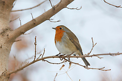 ©London News Pictures. 01/12/2010. A red robin perches on a branch at the Attenborough nature reserve in Nottinghamshire today.  Photo credit should read Alison Baskerville/London News Pictures