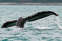 Humpback whale fluting, Bartlett Cove, Glacier Bay, near Gustavus, southeast Alaska USA