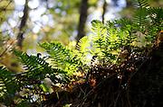 Backlit Polypody ferns (Polypodium virginianum), Baxter State Park, Maine.