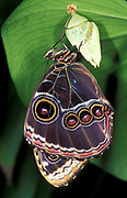 Blue Morpho Butterfly, Morpho Peleides, Central America, Pupae hanging underneath leaf, emerging, stage 4, drying wings
