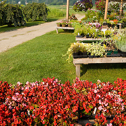 Flowers at the Harlow Farm stand in Westminster, Vermont.  Connecticut River Valley.