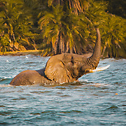 Who'd fancy an elephant surfacing next to them when kayaking through a lake.? It's an interesting experience, here off Rubondo Island in Lake Victoria we had three coming past us in the evening light. They were on their way to shore to knock over a few trees and find shelter for the night. A wonderful experience. @asiliaafrica