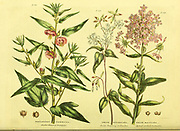 Pentapetes phoenicea [Scarlet flowered Pentapetes] Phlox divaricata [Early flowring Lichnidea] and Phlox maculata Spotted-stalked Lichnidea] from Vol II of the book The universal herbal : or botanical, medical and agricultural dictionary : containing an account of all known plants in the world, arranged according to the Linnean system. Specifying the uses to which they are or may be applied By Thomas Green,  Published in 1816 by Nuttall, Fisher & Co. in Liverpool and Printed at the Caxton Press by H. Fisher