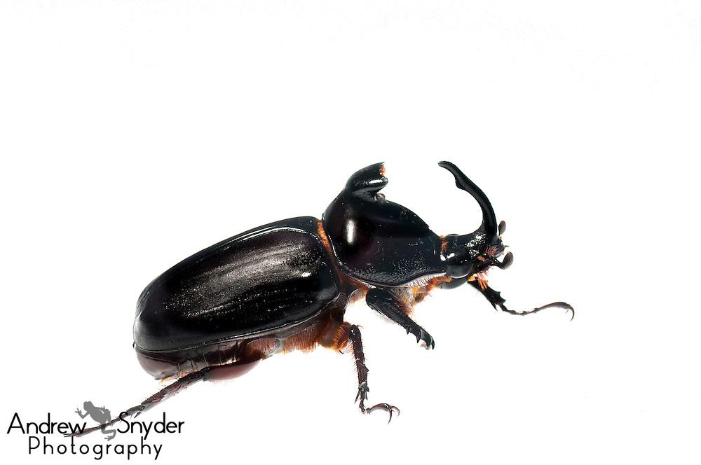 Scarab beetle (Podischnus agenor) - Kanuku Mountains, Guyana.