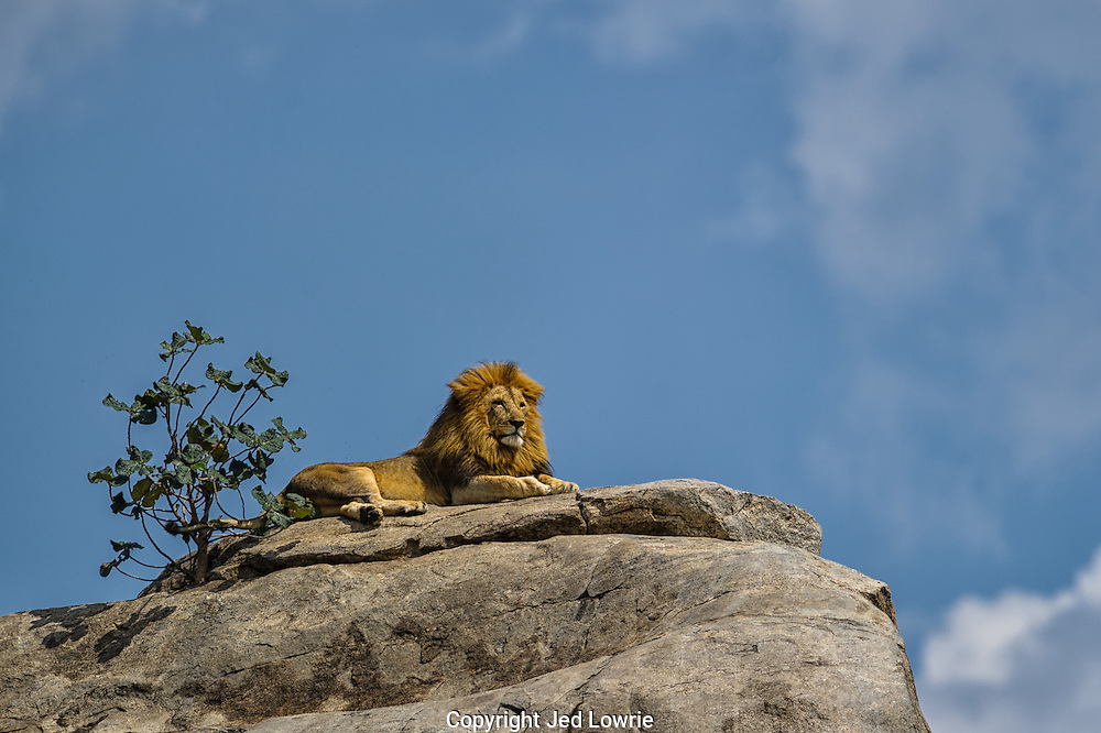 """""""King"""" is featured in the March/April 2014 issue of Wildlife Photographic Magazine.<br /> <br />  This is a quintessential image of power, strength and courage.  I watched as he sauntered up the side of the kopje and assumed his position atop the outlook.  I couldn't help but anticipate Rafiki walking up behind him and present Simba to all the other animals."""
