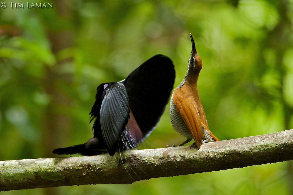 Magnificent Riflebird Bird of Paradise (Ptiloris magnificus) male displaying to female.