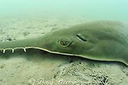 smalltooth sawfish or wide sawfish, Pristis pectinata ( Critically Endangered Species ), showing eye & spiracle, Florida Bay, Everglades National Park, Florida, USA