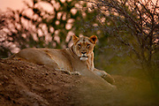 "Lioness in the evening on the Phinda Game Reserve. <br /> <br /> Phinda Private Game Reserve encompasses an impressive 23 000 hectares (56 800 acres) of prime conservation land wilderness in KwaZulu-Natal, South Africa. Showcasing one of the continent's finest game viewing experiences. Phinda is described as ""Seven Worlds of Wonder"", with its seven distinct habitats - a magnificent tapestry of woodland, grassland, wetland and forest, interspersed with mountain ranges, river courses, marshes and pans. Phinda is a wilderness sanctuary where intimate encounters, adventure and rare discoveries can be experienced firsthand."