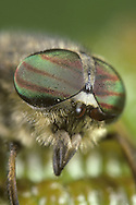 Close up of Horse-fly eyes