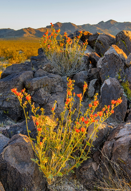 Coulter's Globemallow in the Greenwater Valley at Sunset, Death Valley National Park, California