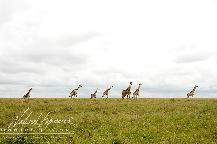 Giraffe (Giraffa camelopardalis) A subspecies known as Masai Giraffe (G.g.tippelskirchi) Masai Mara Game Reserve, Kenya, Africa