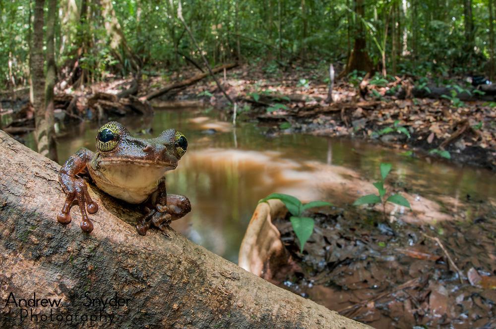 An adult Manaus slender-legged tree frog (Osteocephalus taurinus) perched above a creek in Iwokrama, Guyana.