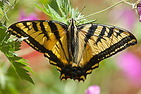 "Western Tiger Swallowtail (Papilio rutulus)  Wingspan:  2.5-5.5"".   Butterfly found  in open grasslands around cottonwoods and willows.  Colorado USA."