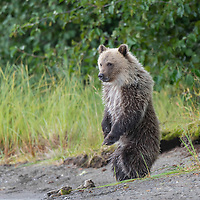 Grizzly Bear Cub-of=the-Year standing on the shorline of the Chilko River in British Columbia, Canada watching for sockeye salmon.