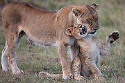 A male lion cub  (Panthera Leo) playing and bonding with his mother,Masai Mara, Kenya,Africa