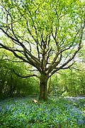 Oak Tree, Quercus Robur, in Bluebell woodlands, Hyacinthoides non-scriptus, Stockbury Hill Woodland, Kent Wildlife Trust, UK, protected plant
